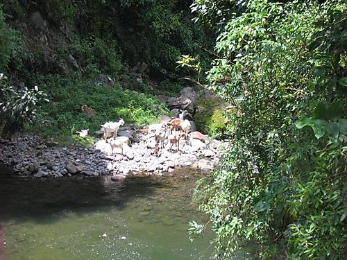 Goats at stream