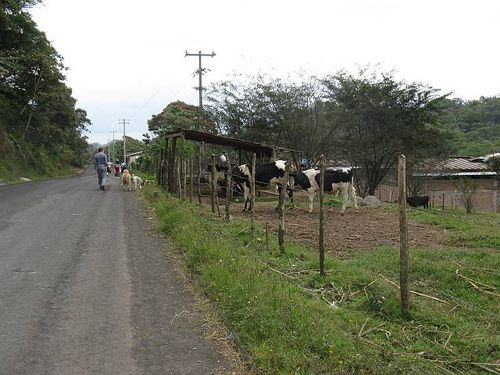Cows near shed