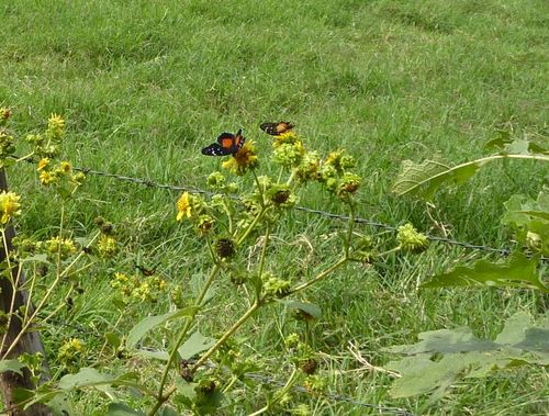 Orange and black butterflies
