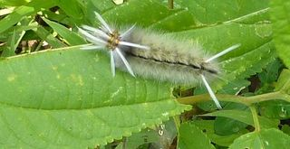 Caterpillar tan fuzzy with black line and antennae