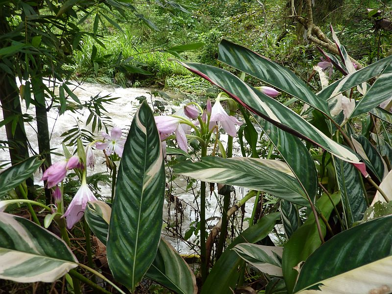 Walk july 26 lilies and stripey leaves