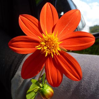 Orange wildflower in hand