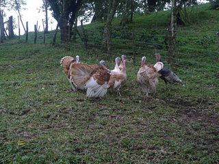 Farm tour 11 turkeys