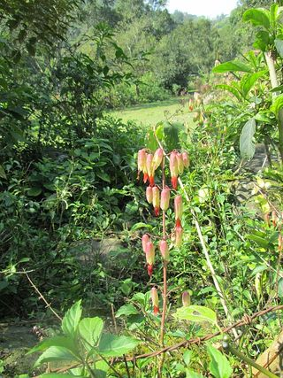 Lantern flowers stream and field