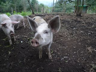 Farm tour 7 white and spotted pig portrait
