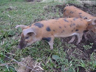 Farm tour 5 hybrid part wild pigs