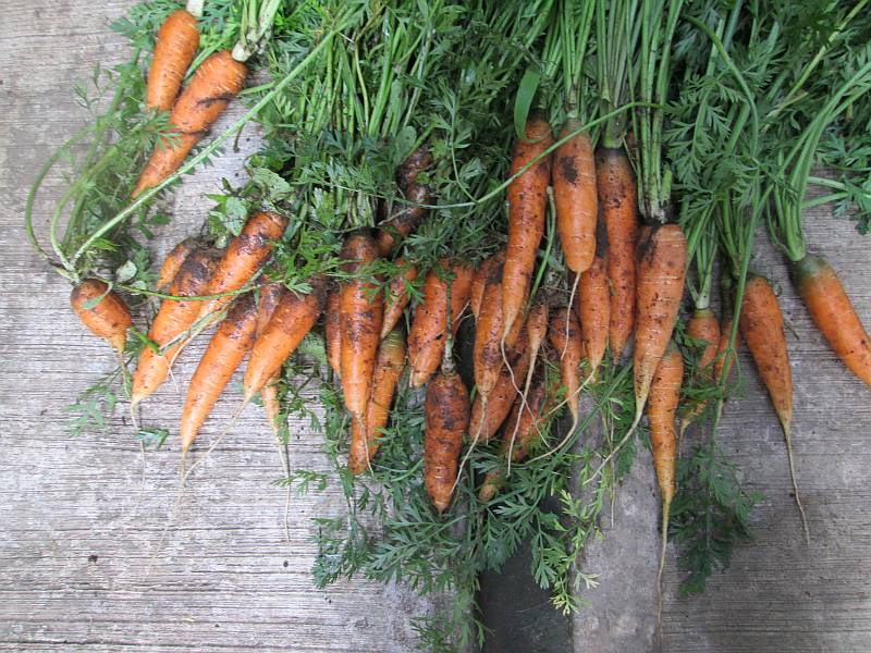 Carrots from my garden