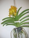 Yellow_wall_orchids_small